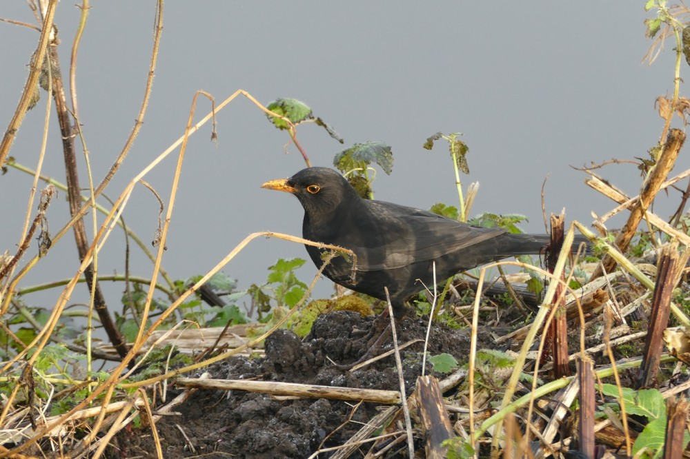 199  Blackbird