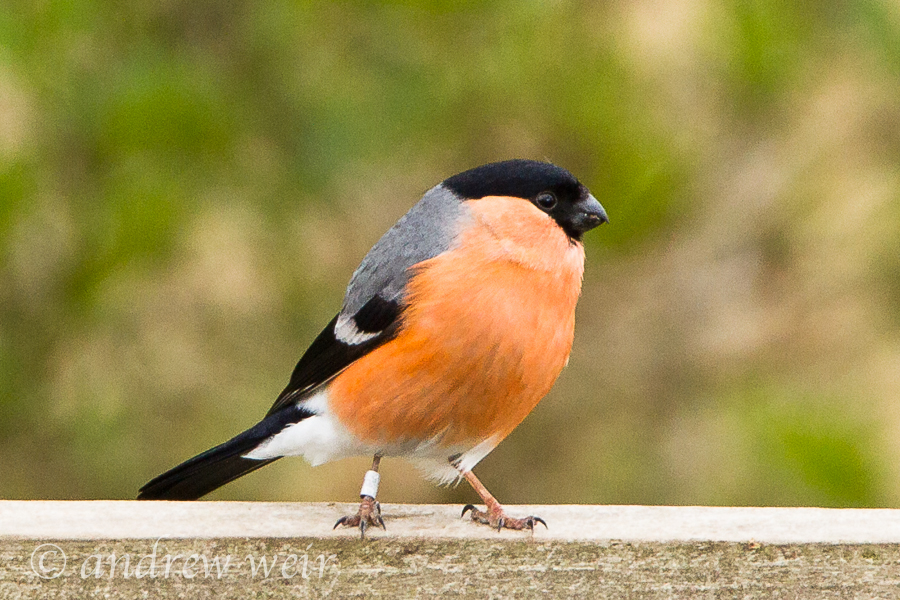 236  Bullfinch