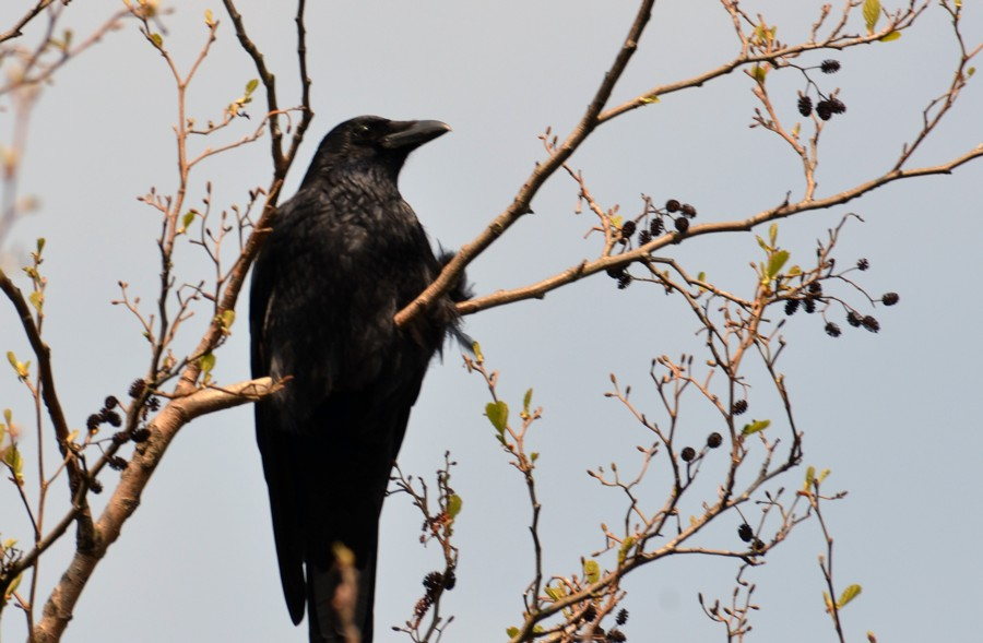 161  Carrion Crow