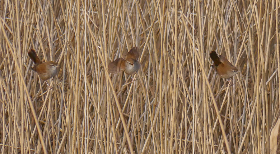 177  Cetti's Warbler