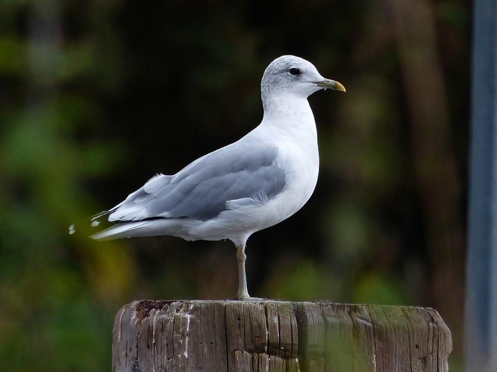 126  Common Gull