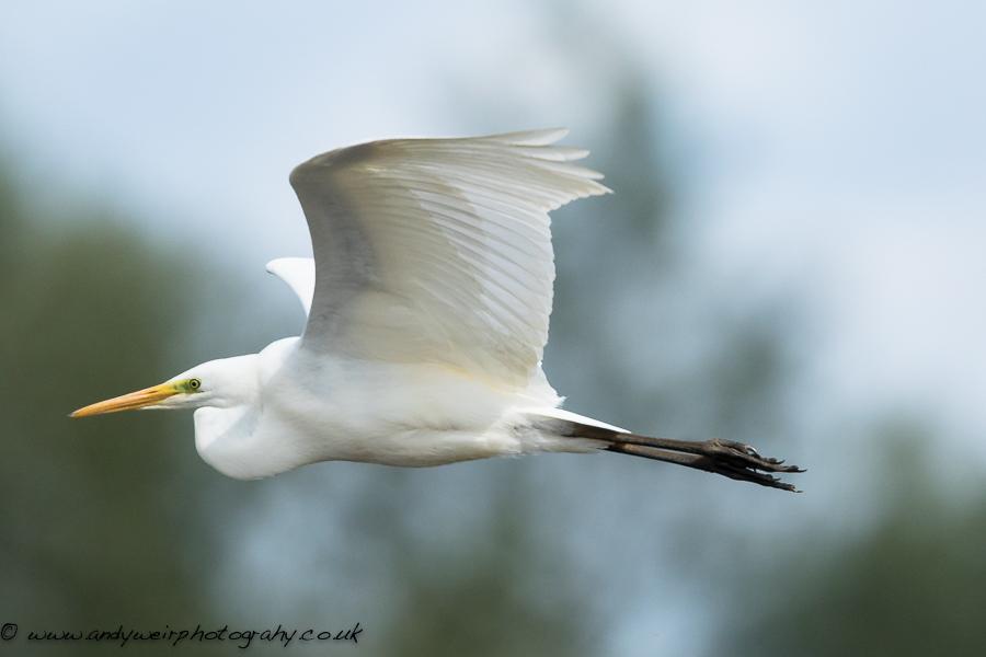 049 Great White Egret