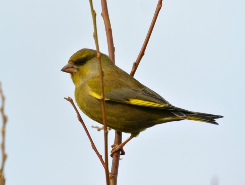 227  Greenfinch