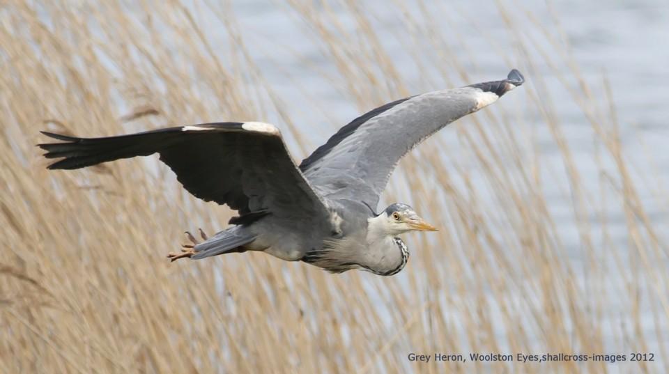 050 Grey Heron