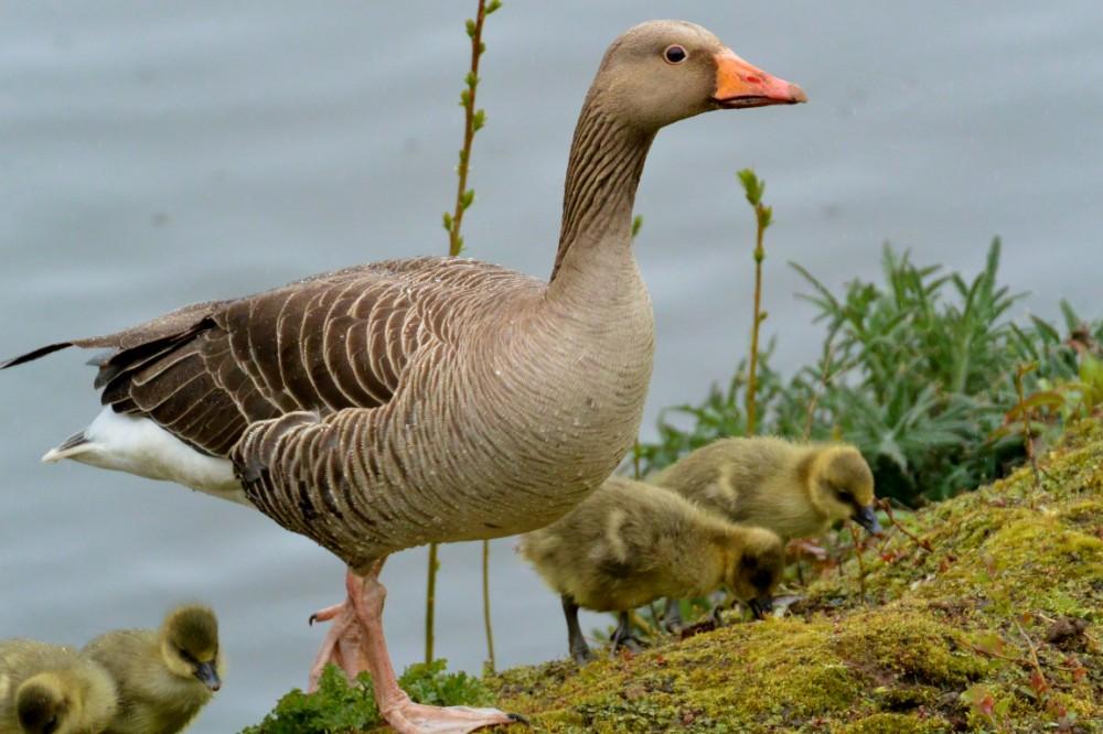 006  Grey Lag Goose