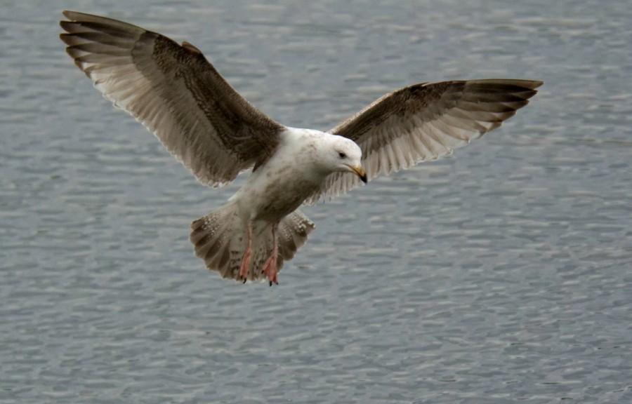 129  Herring Gull
