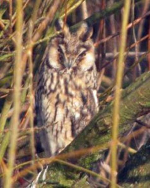 144  Long-eared Owl