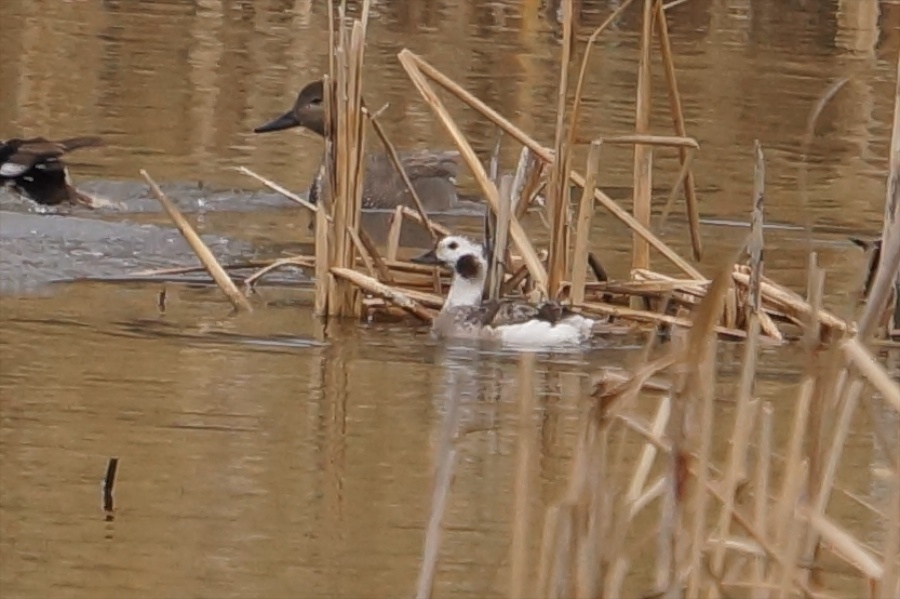 028  Long-tailed Duck