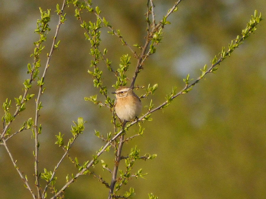 211  Whinchat