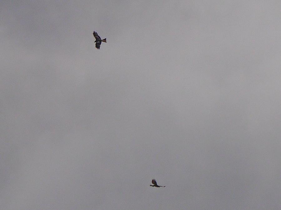 058  Red Kite