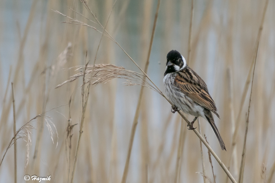 241  Reed Bunting