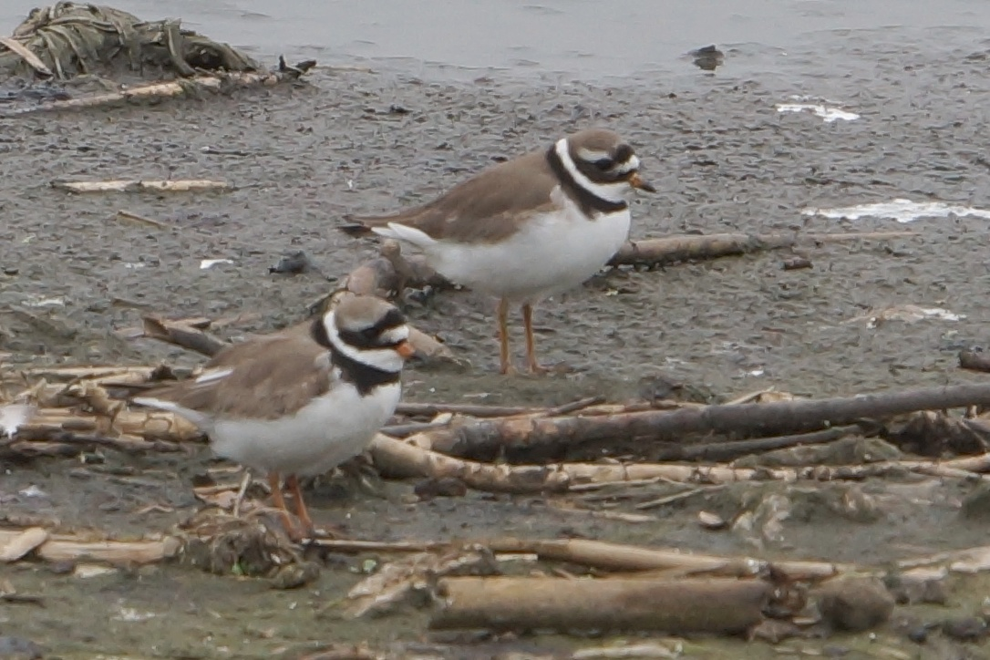 085  Ringed Plover