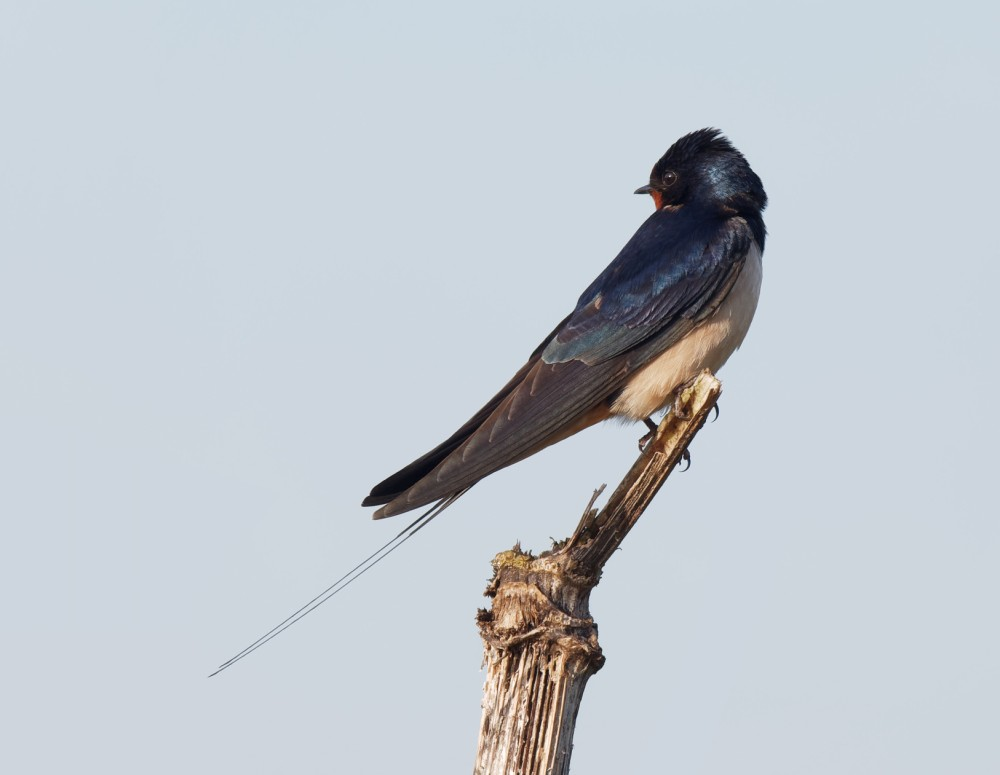 175  Swallow