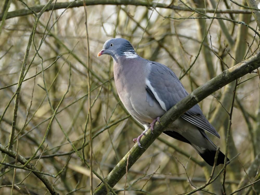 136  Wood Pigeon