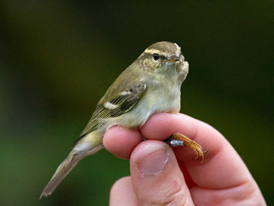 179  Yellow-browed Warbler