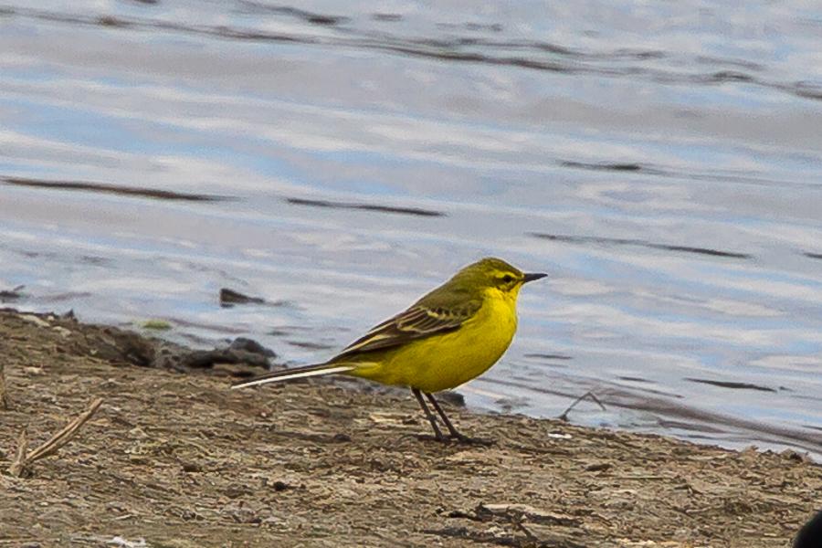 217  Yellow Wagtail
