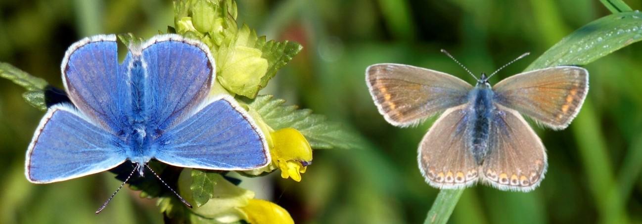 25  Common Blue