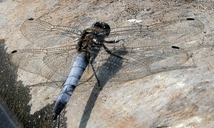 16  Black-tailed Skimmer
