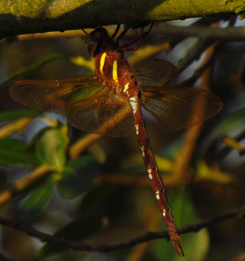 09  Brown Hawker