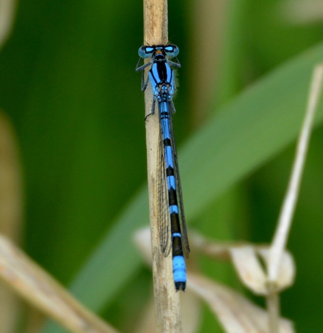 03  Common Blue Damselfly