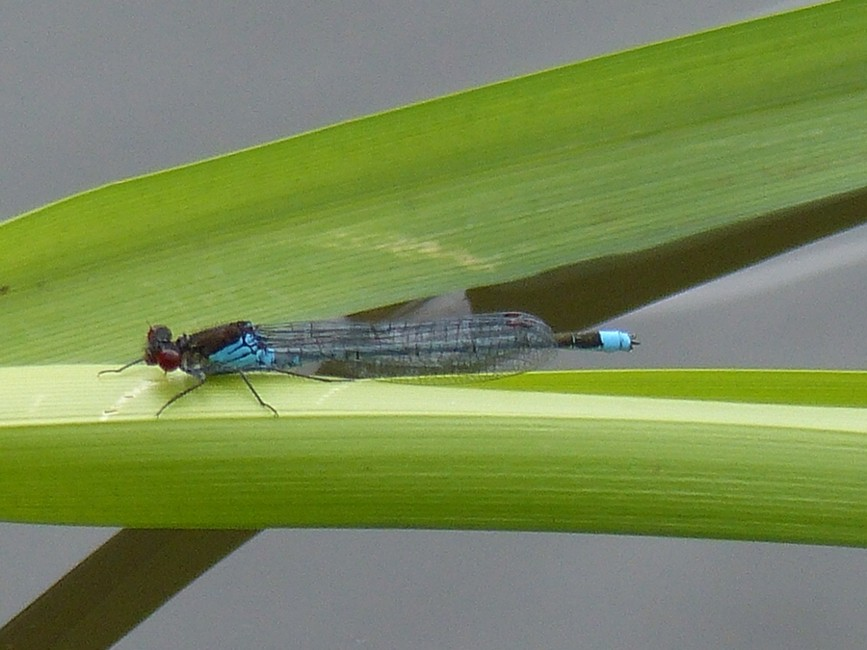 04  Red-eyed Damselfly