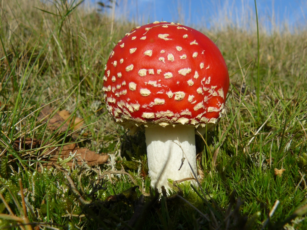 M02 Fly Agaric