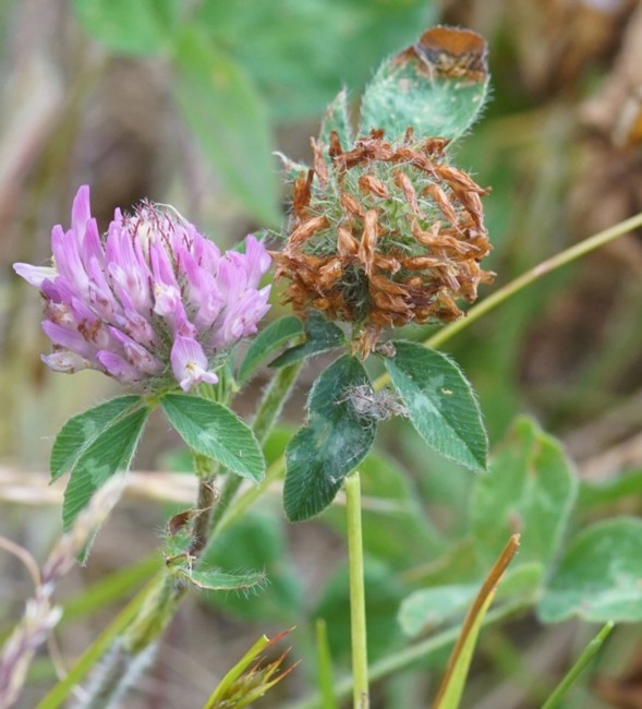 058 Red Clover