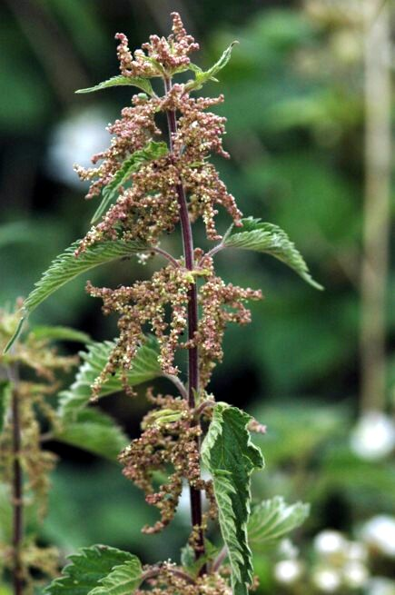 002 Common Nettle
