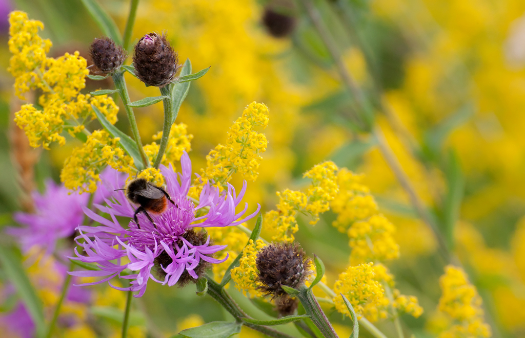 09 Red-tailed Bumble-bee