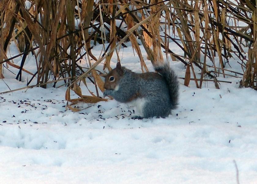 07  Grey Squirrel